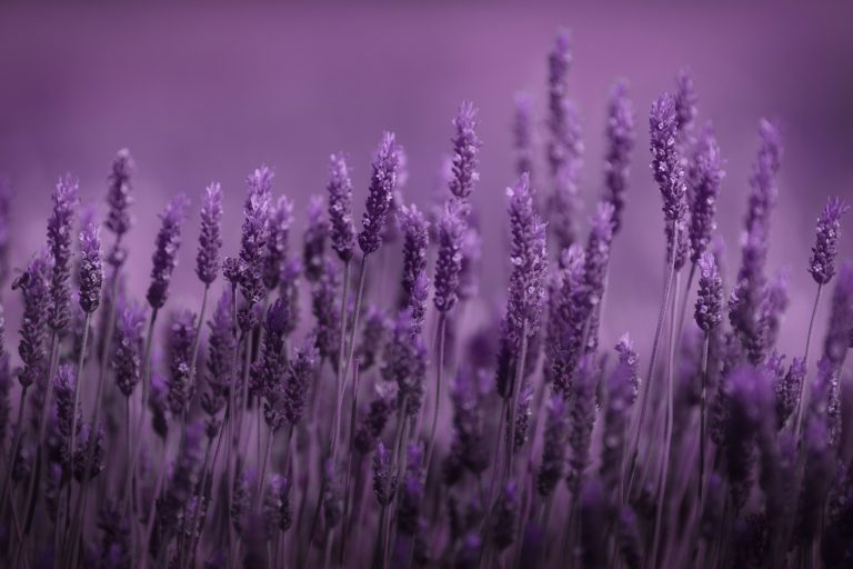 lavender wallpaper 79