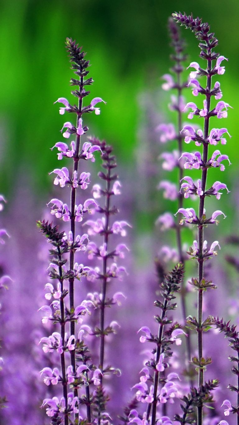 lavender wallpaper 80