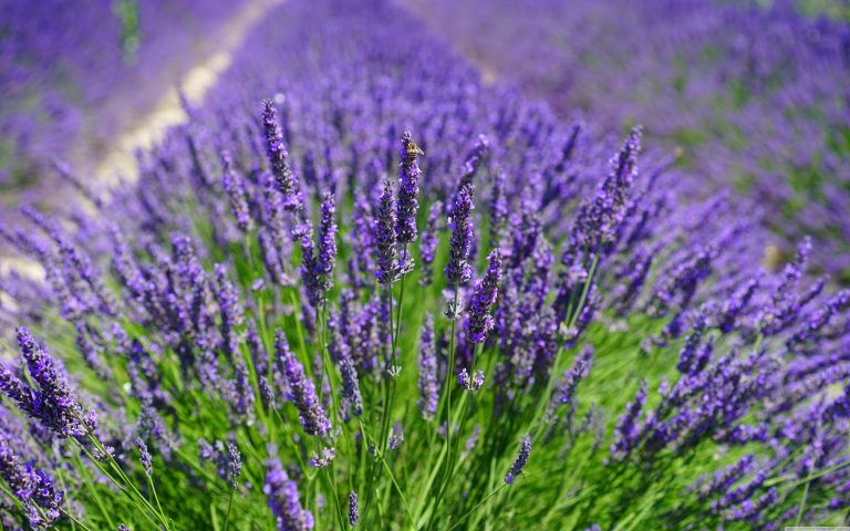 lavender wallpaper 83