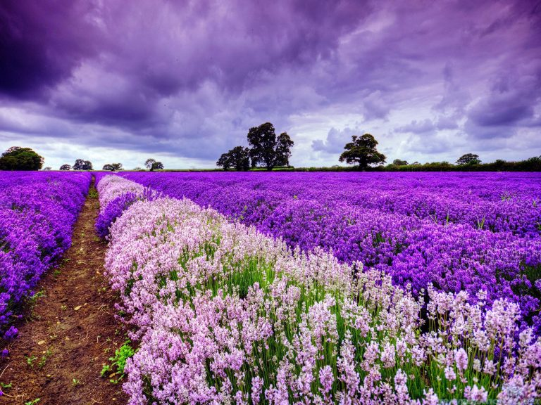 lavender wallpaper 84