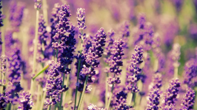 lavender wallpaper 85