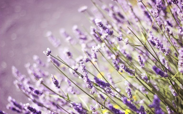 lavender wallpaper 87