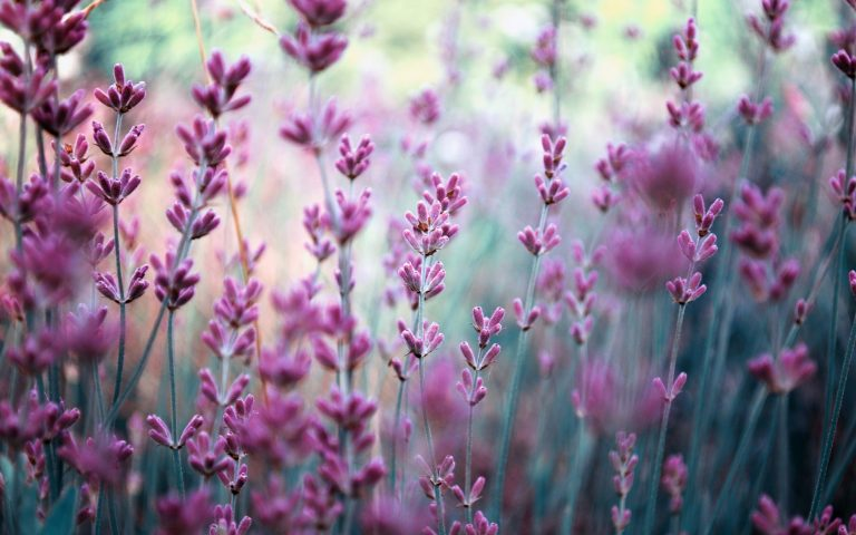 lavender wallpaper 90