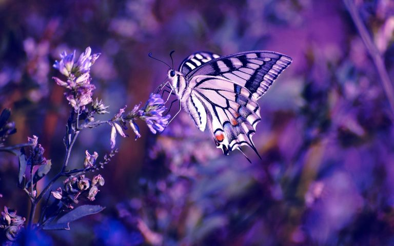 lavender wallpaper 91