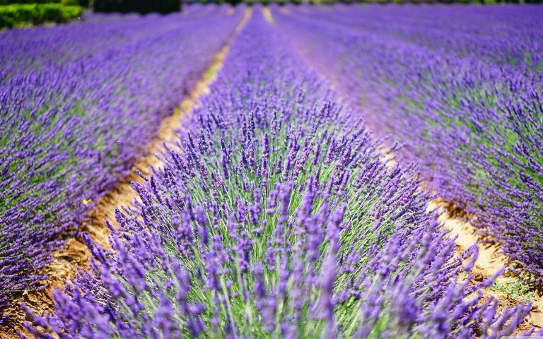 lavender wallpaper 92