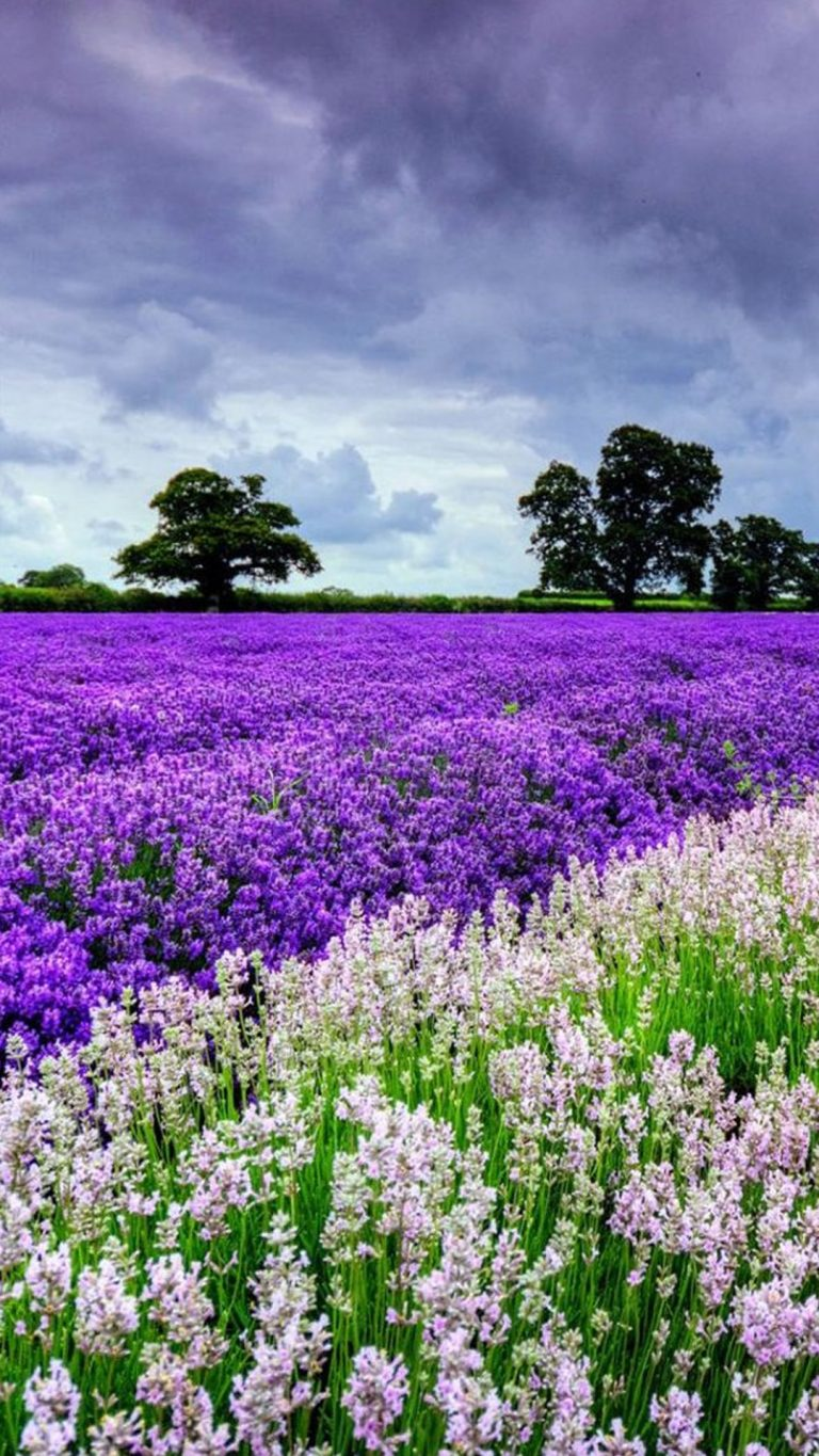 lavender wallpaper 98
