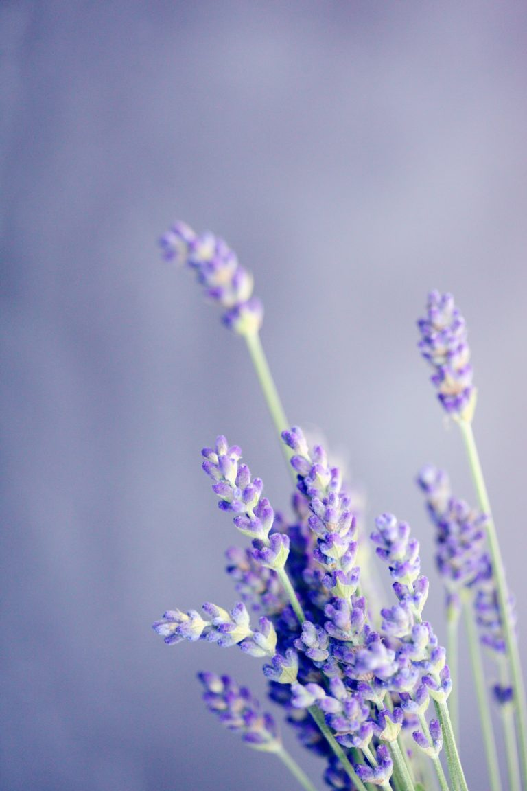lavender wallpaper 100