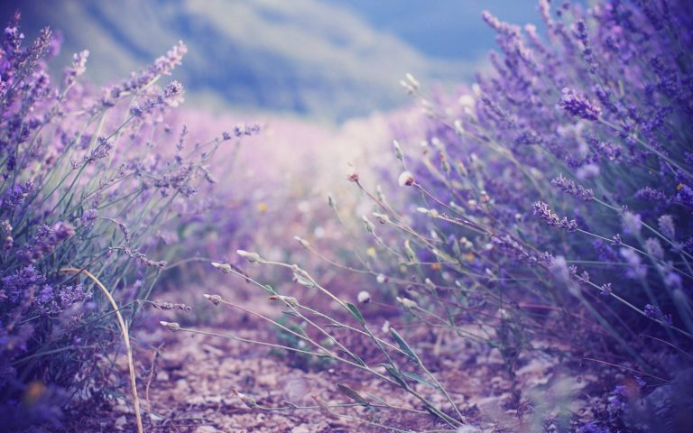 lavender wallpaper 101