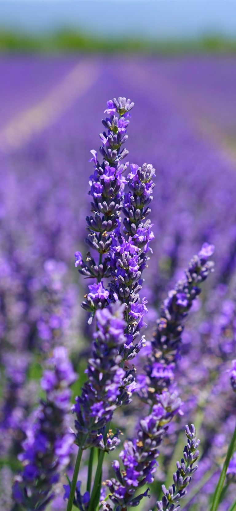 lavender wallpaper 104