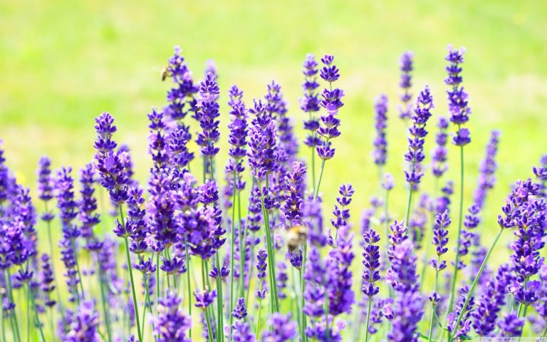 lavender wallpaper 105
