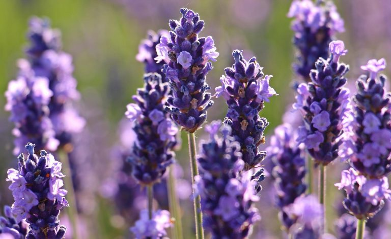 lavender wallpaper 106