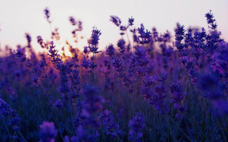 lavender wallpaper 107