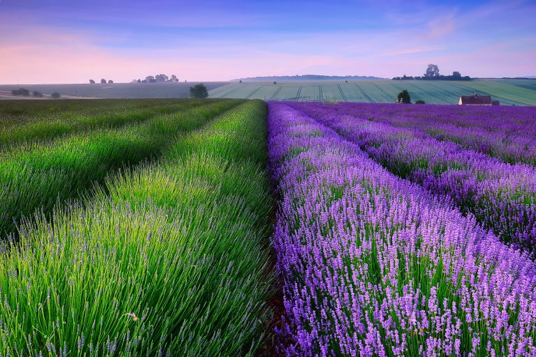lavender wallpaper 109