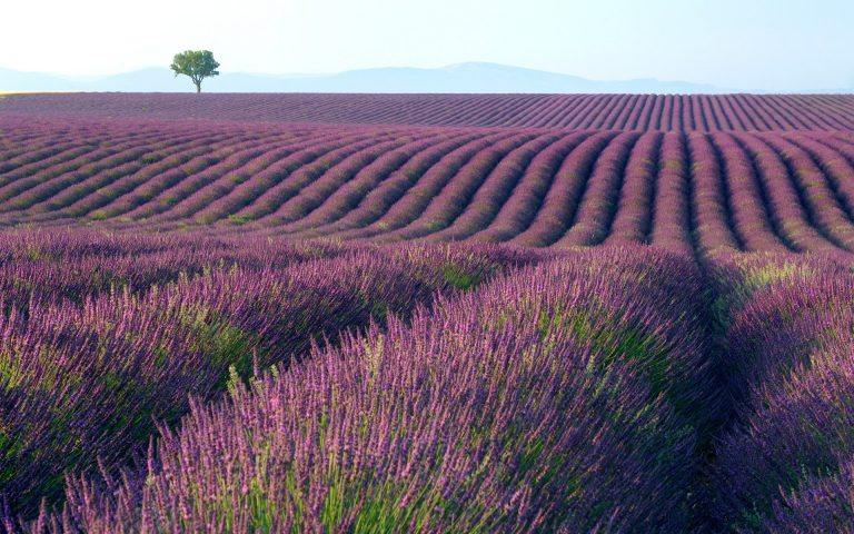 lavender wallpaper 110