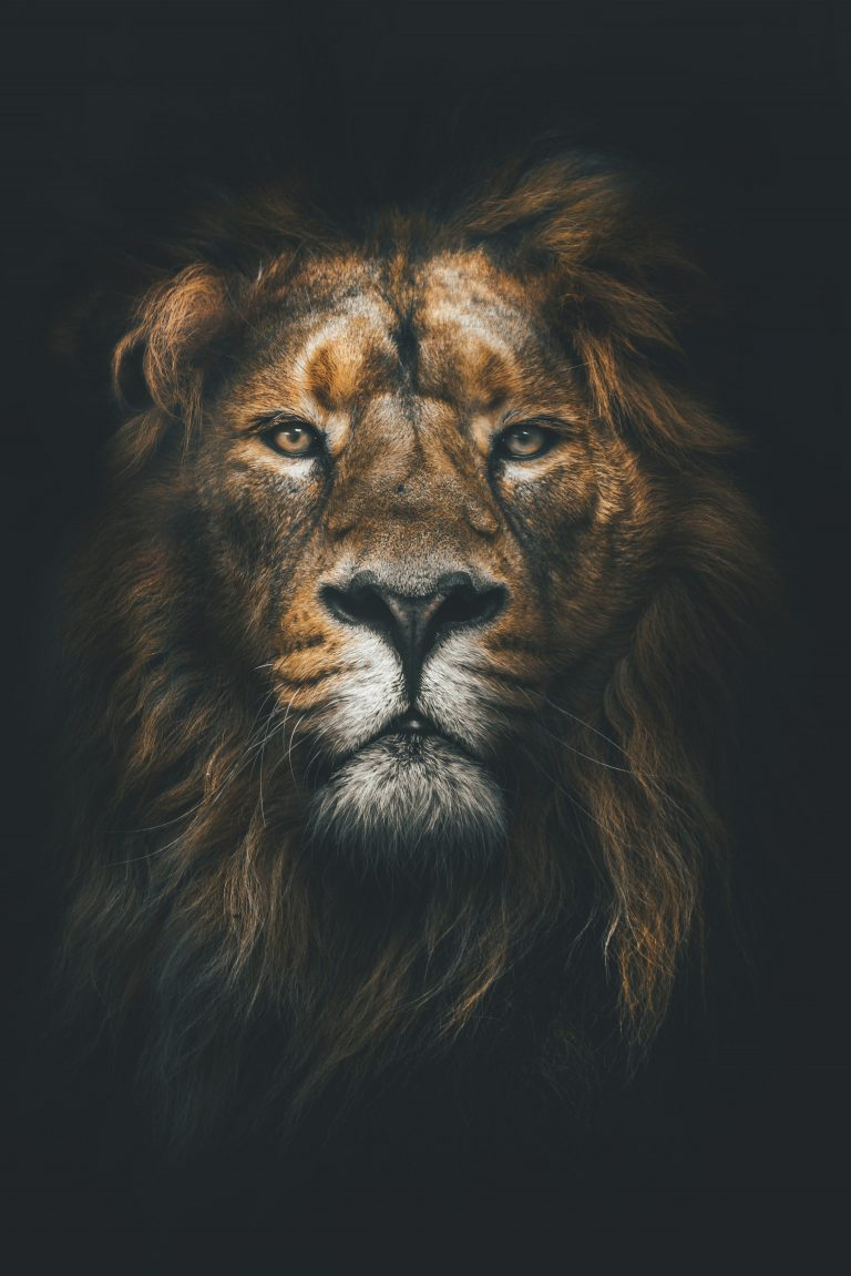 lion wallpaper 1