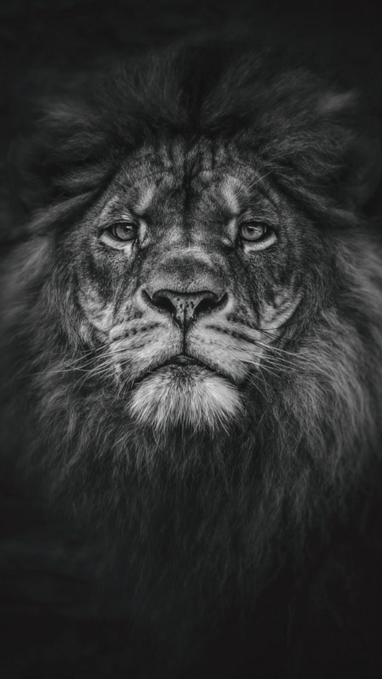 lion wallpaper 13