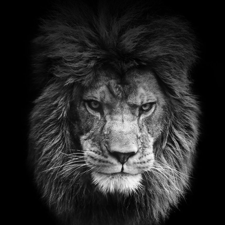 lion wallpaper 22