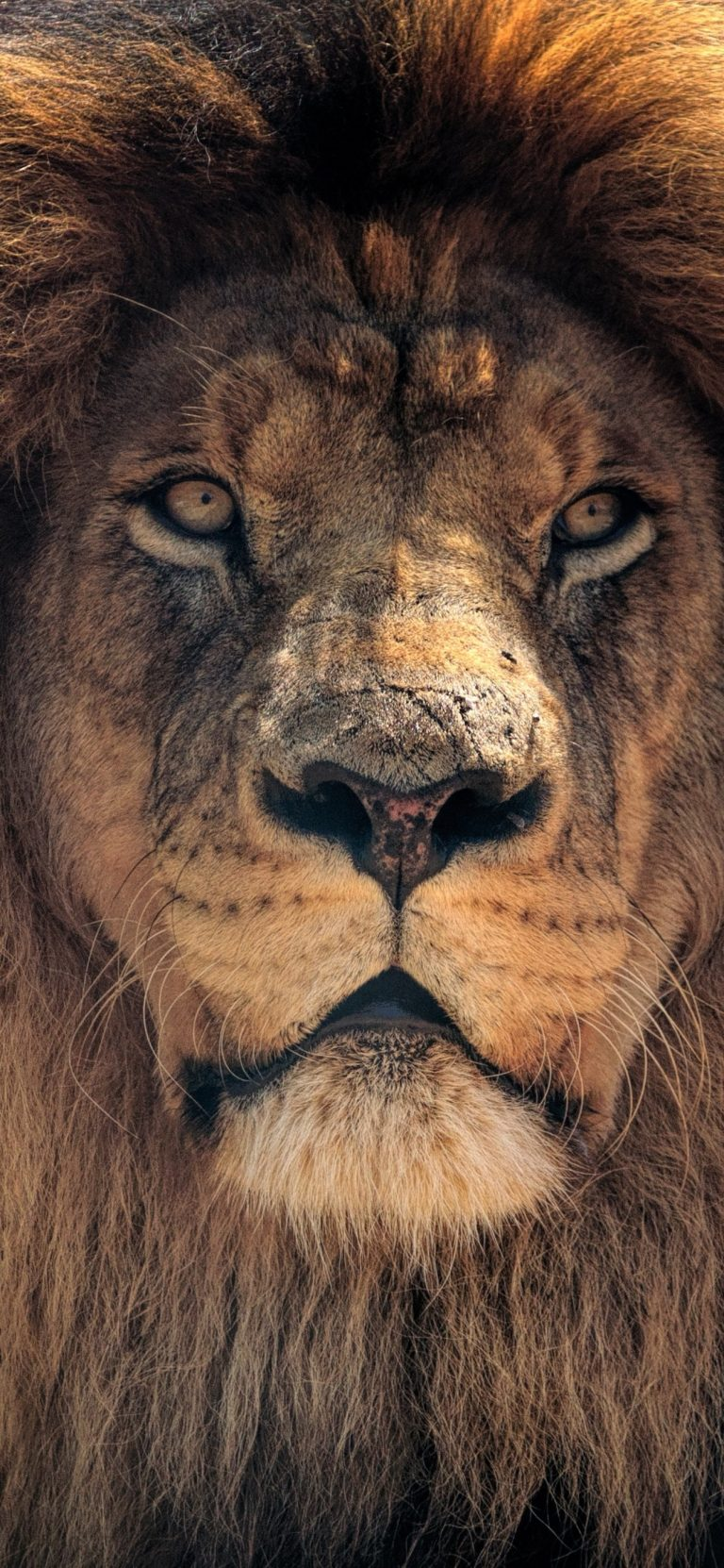 lion wallpaper 28