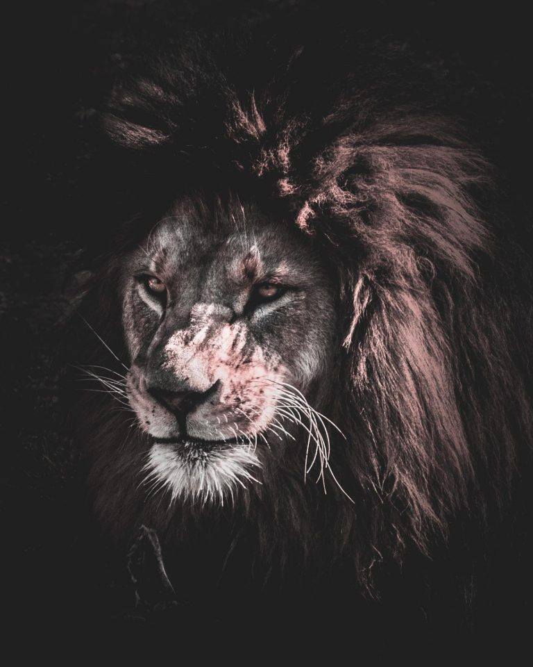 lion wallpaper 32