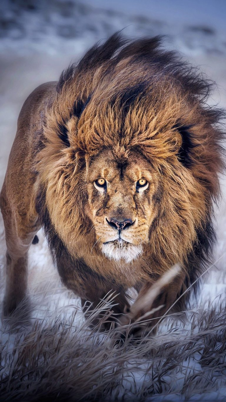 lion wallpaper 33