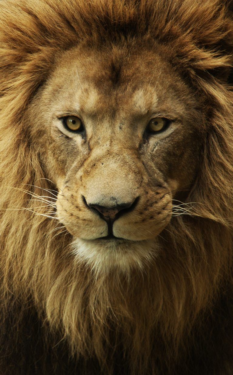 lion wallpaper 34