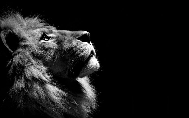 lion wallpaper 35