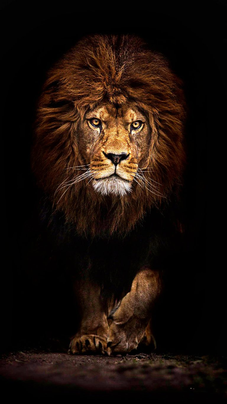lion wallpaper 36