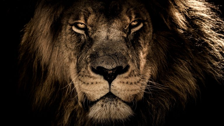 lion wallpaper 37
