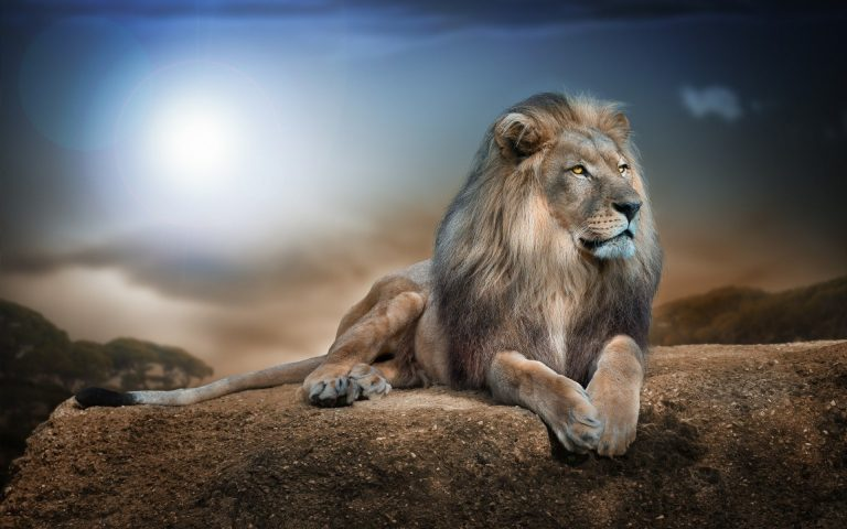 lion wallpaper 70
