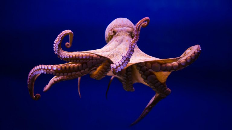 octopus wallpaper 089
