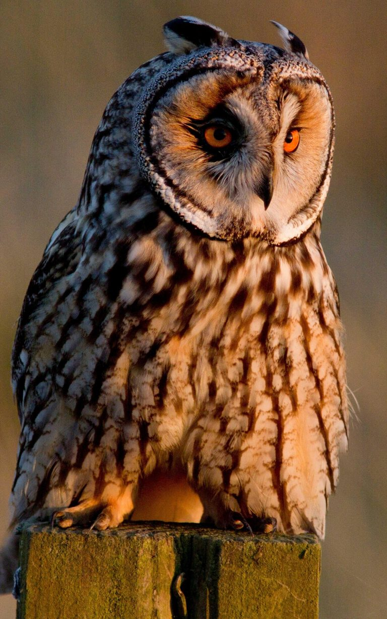 owl wallpaper 183