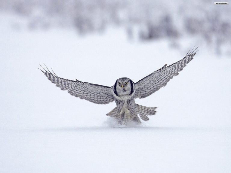owl wallpaper 193