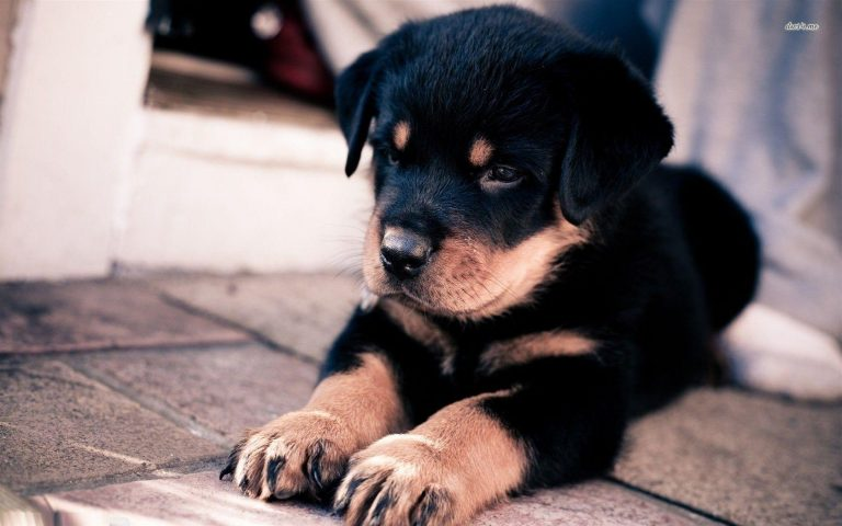 puppy wallpaper 186
