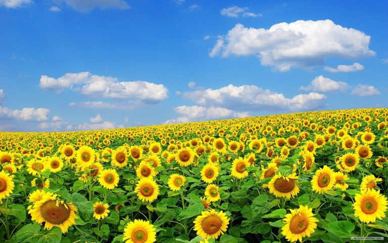 sunflower wallpaper 59