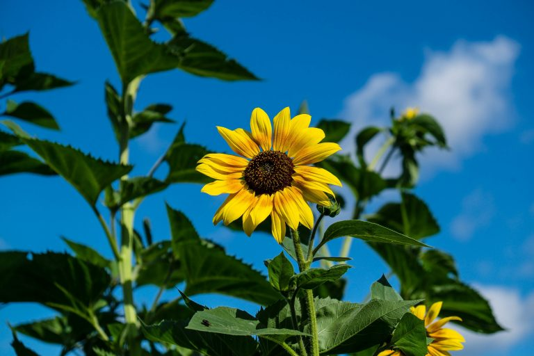 sunflower wallpaper 60