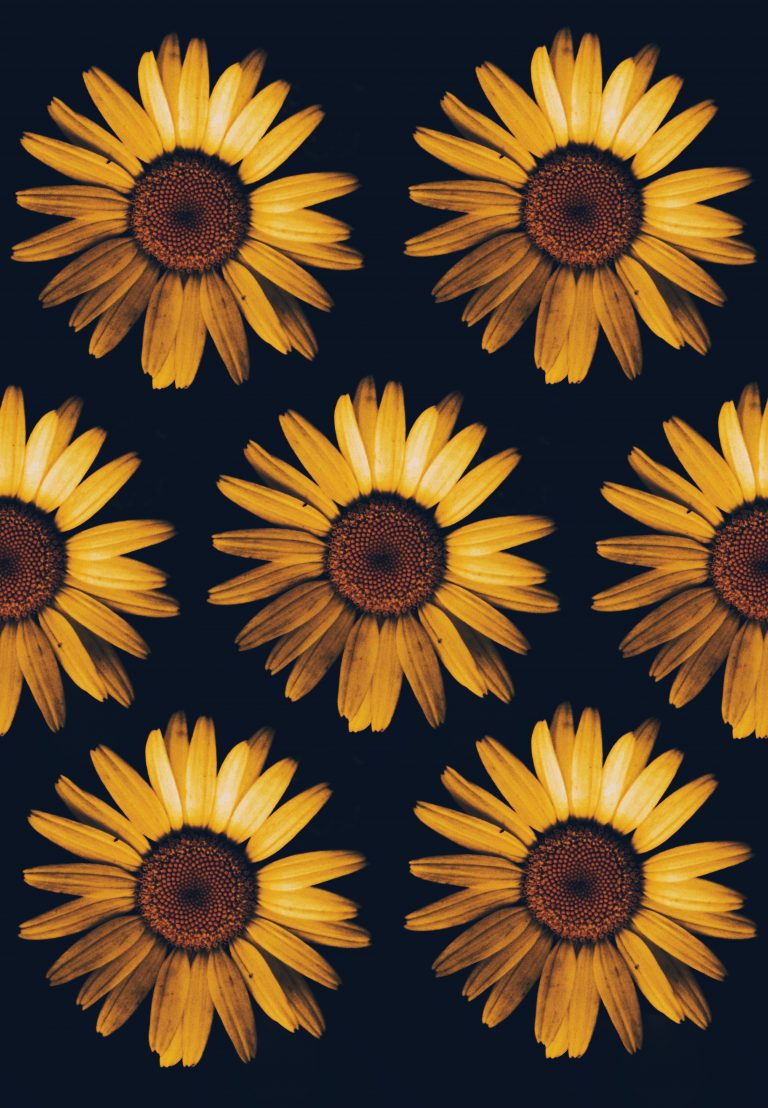 sunflower wallpaper 62
