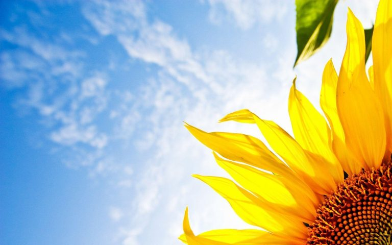 sunflower wallpaper 64
