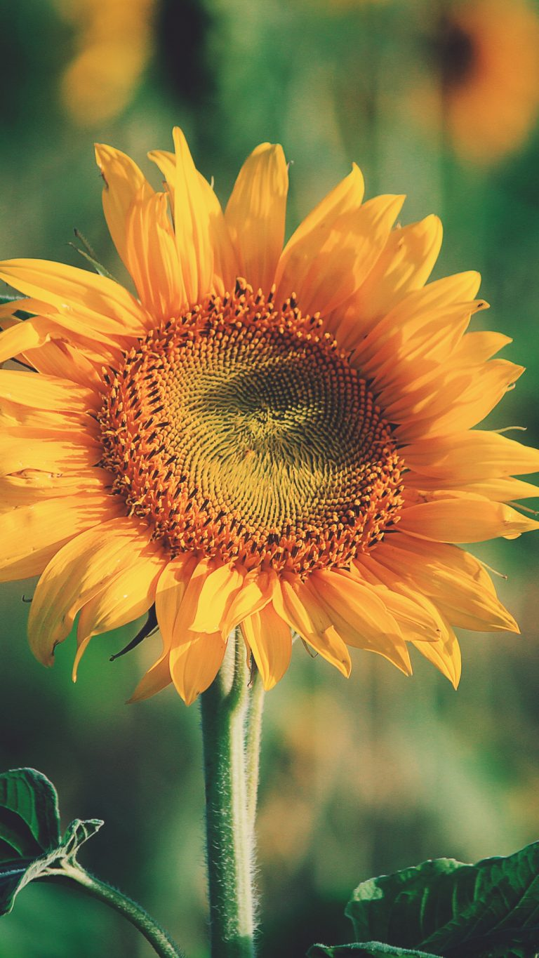 sunflower wallpaper 65