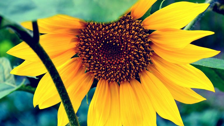 sunflower wallpaper 69