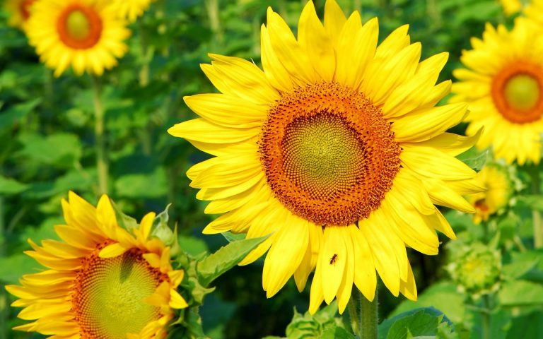 sunflower wallpaper 70