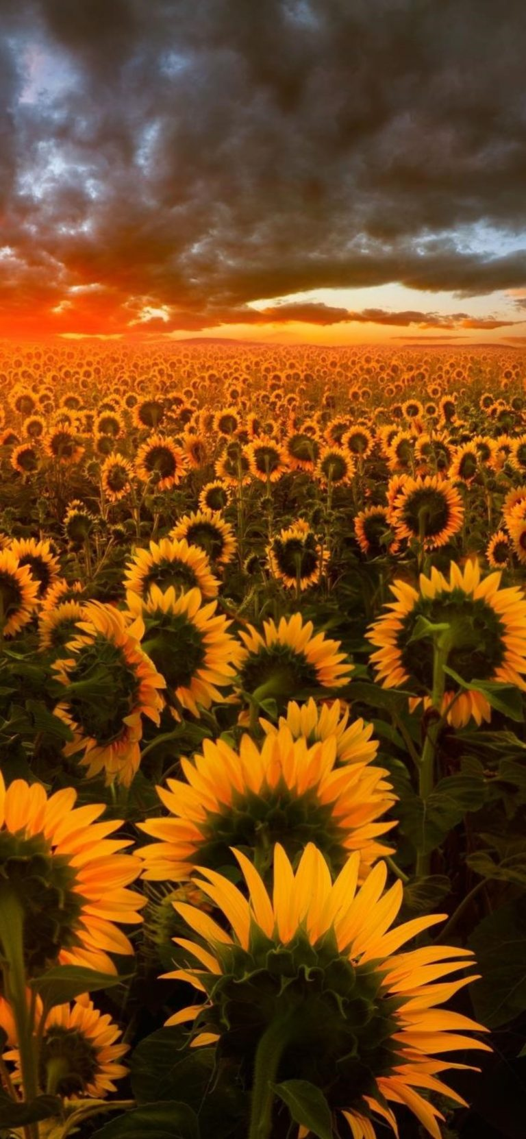 sunflower wallpaper 71