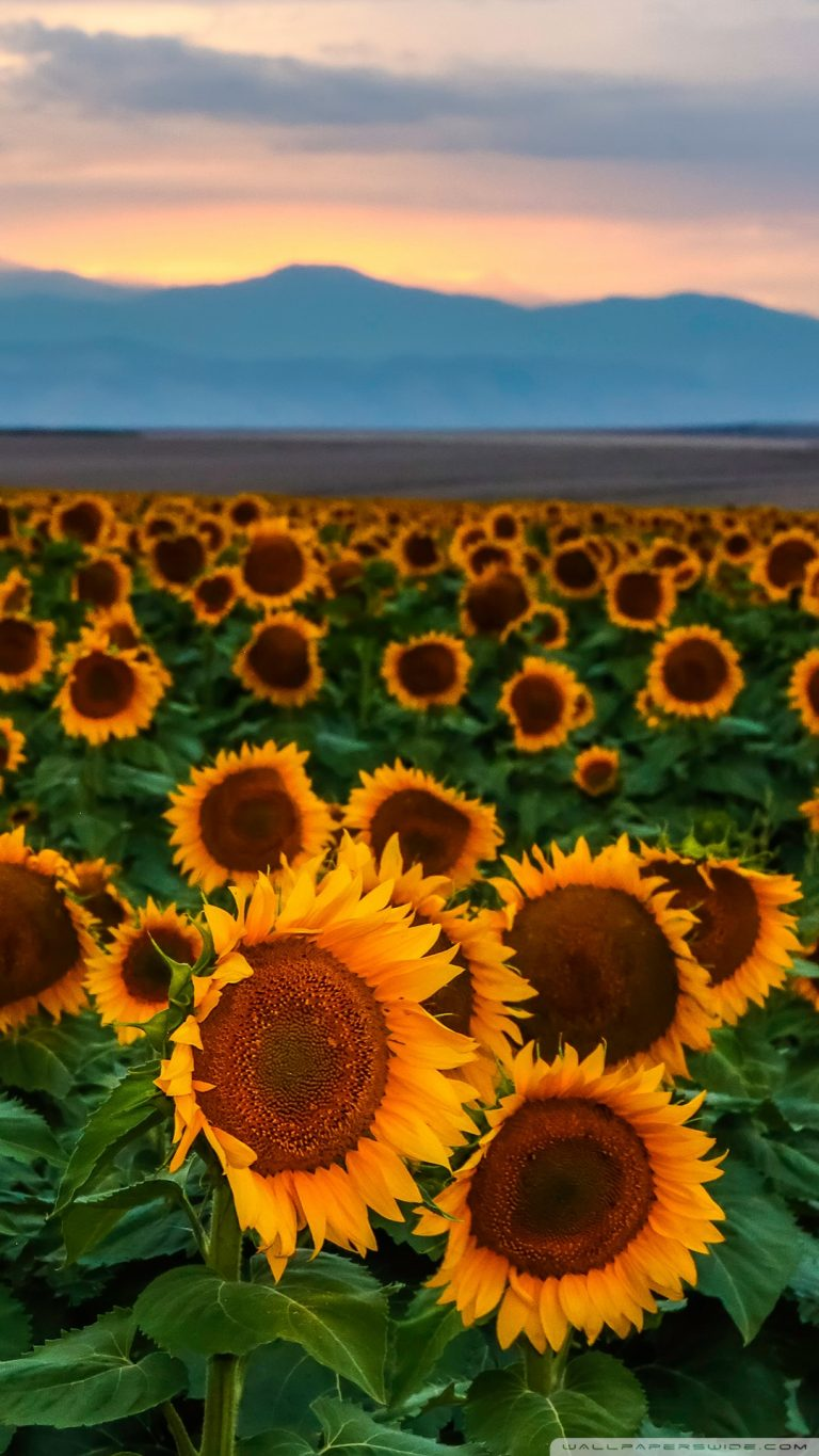 sunflower wallpaper 72