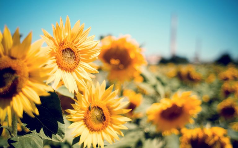 sunflower wallpaper 73