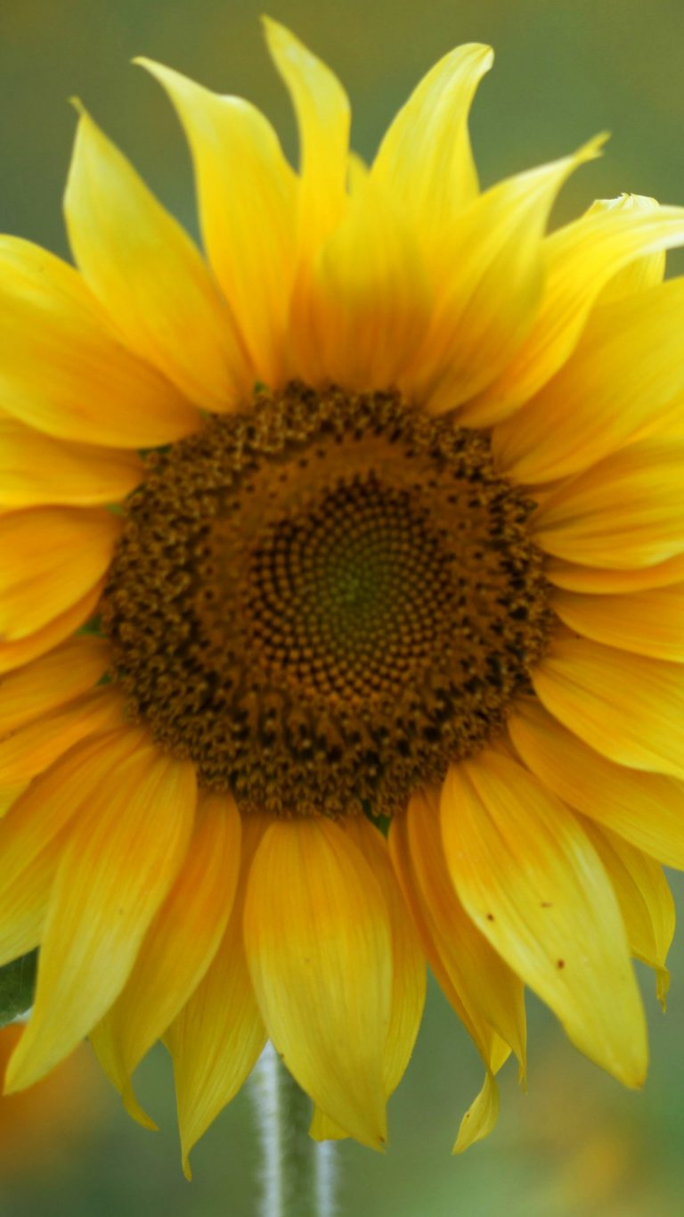 sunflower wallpaper 74