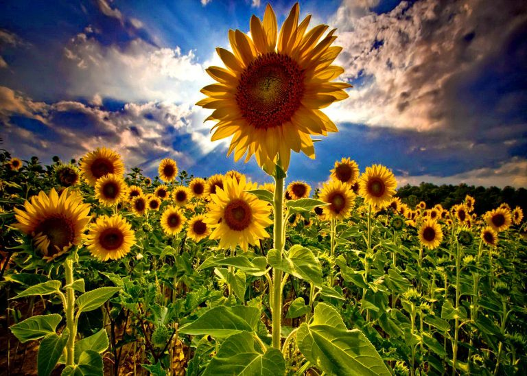 sunflower wallpaper 75
