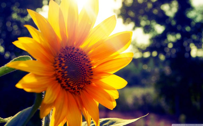 sunflower wallpaper 77