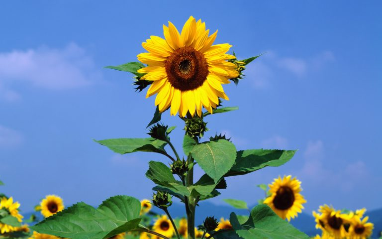 sunflower wallpaper 78