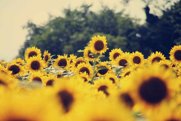 sunflower wallpaper 79
