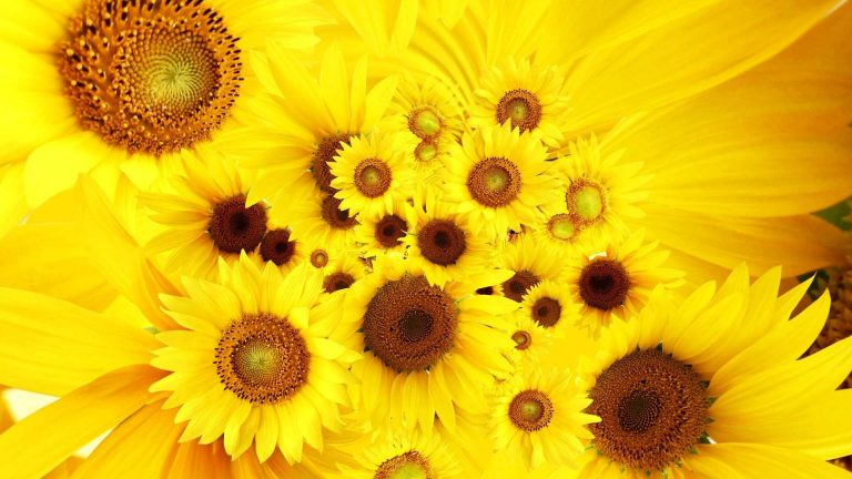 sunflower wallpaper 81