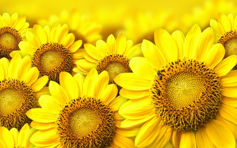 sunflower wallpaper 82